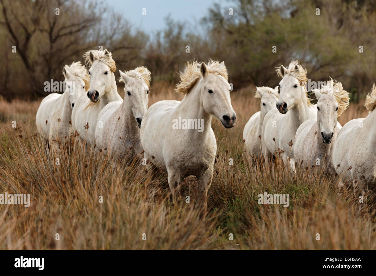 Camargue horses running through marshy wetland of the Camargue, southern France - Stock Image