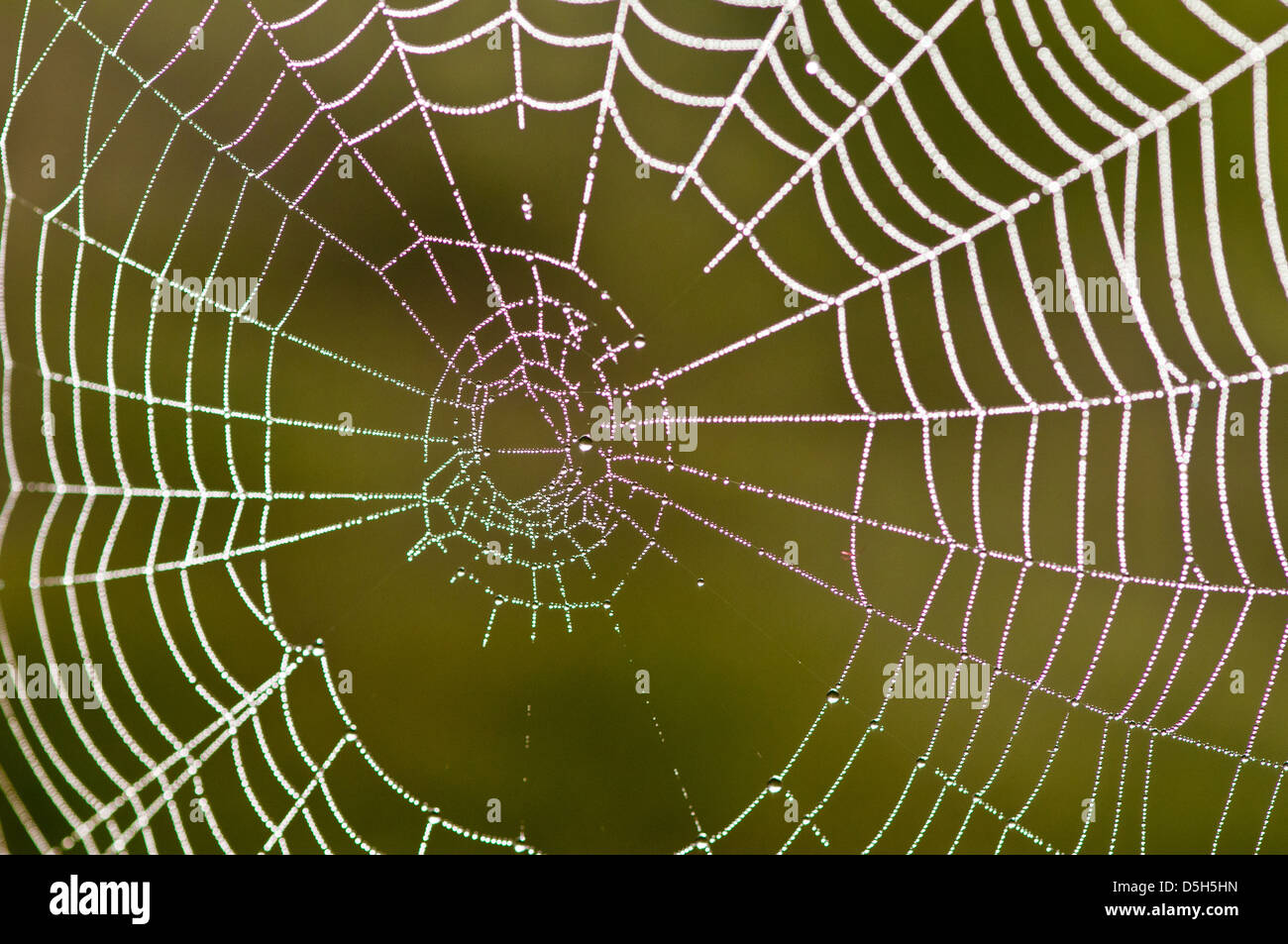 Dew-covered spider web (orb web) - Stock Image