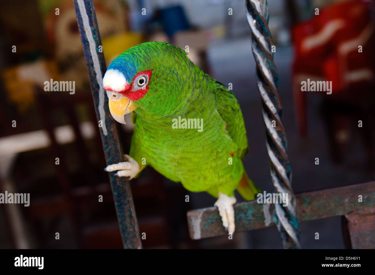 Colorful Amazon parrot perched on metal bars. - Stock Image