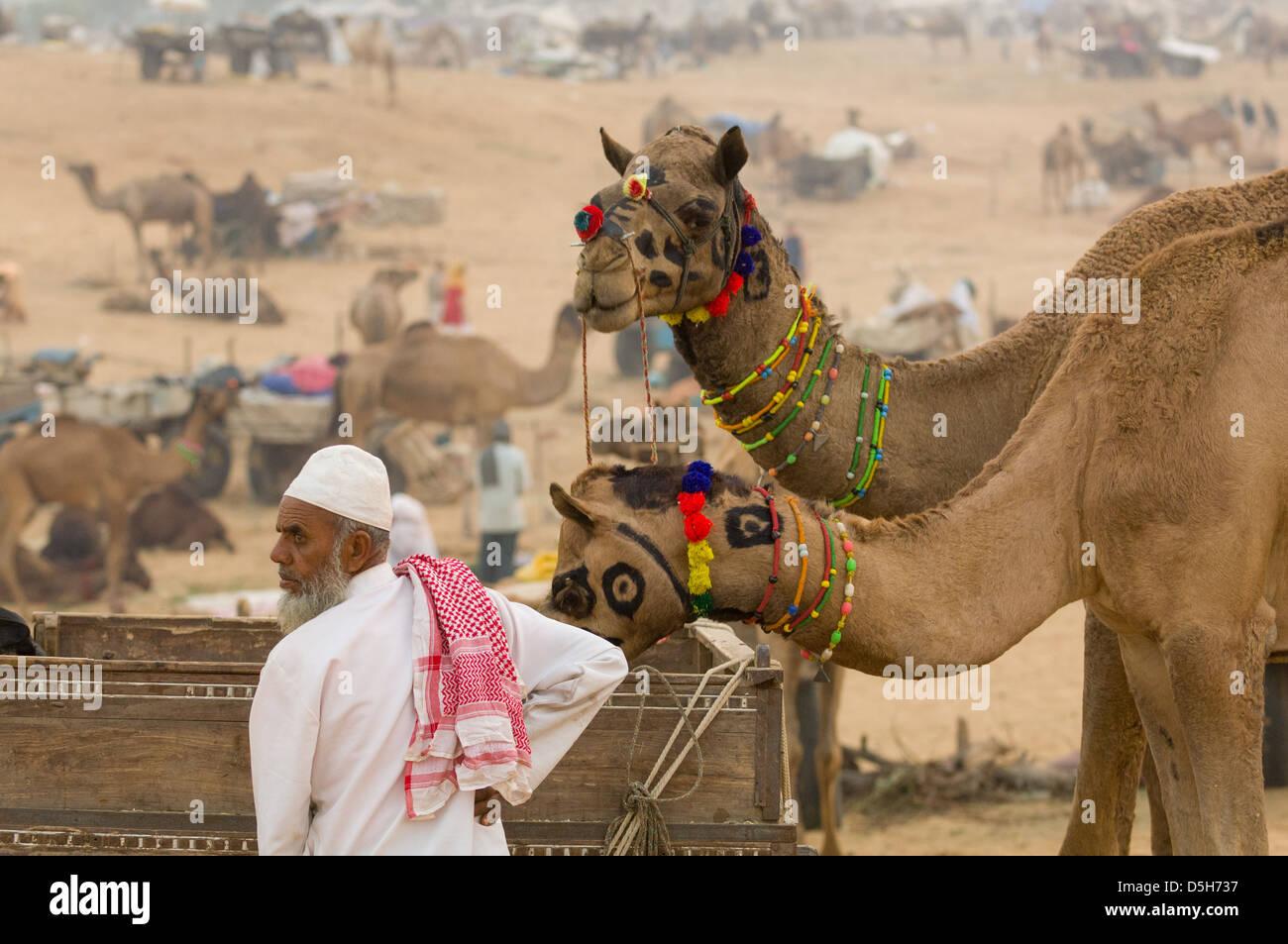 Muslim man feeding two decorated camels from a cart at the Pushkar Mela, Pushkar, Rajasthan, India - Stock Image