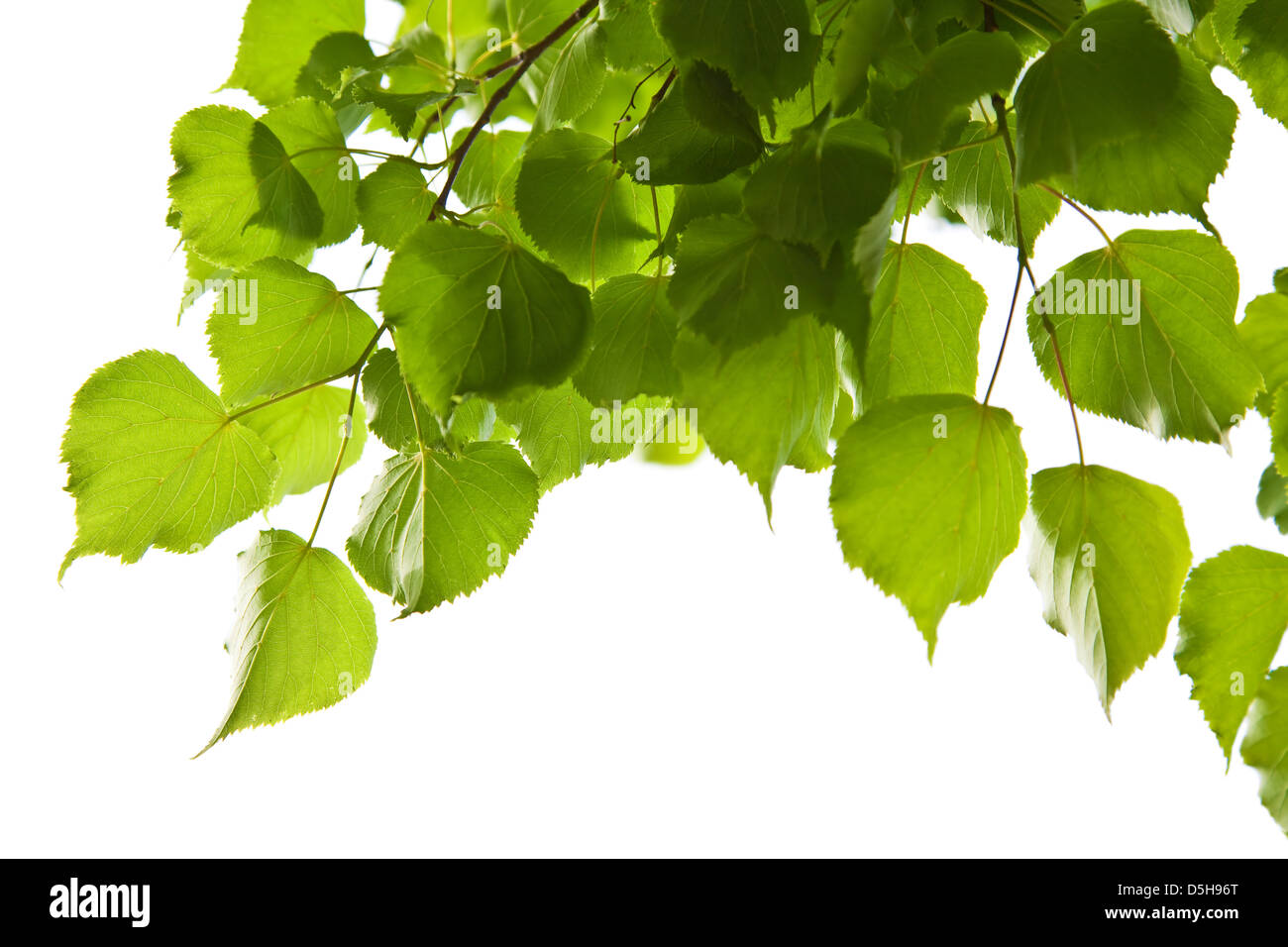 birch leaves isolated - Stock Image