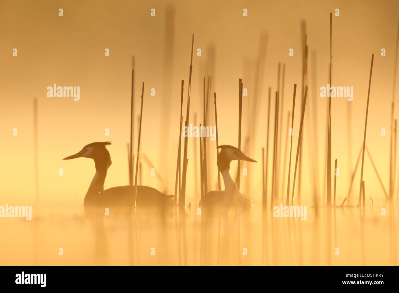 Pair of Great Crested Grebes (Podiceps cristatus), Europe - Stock Image