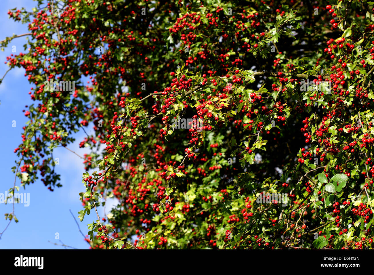 Hawthorn tree with berries - Stock Image