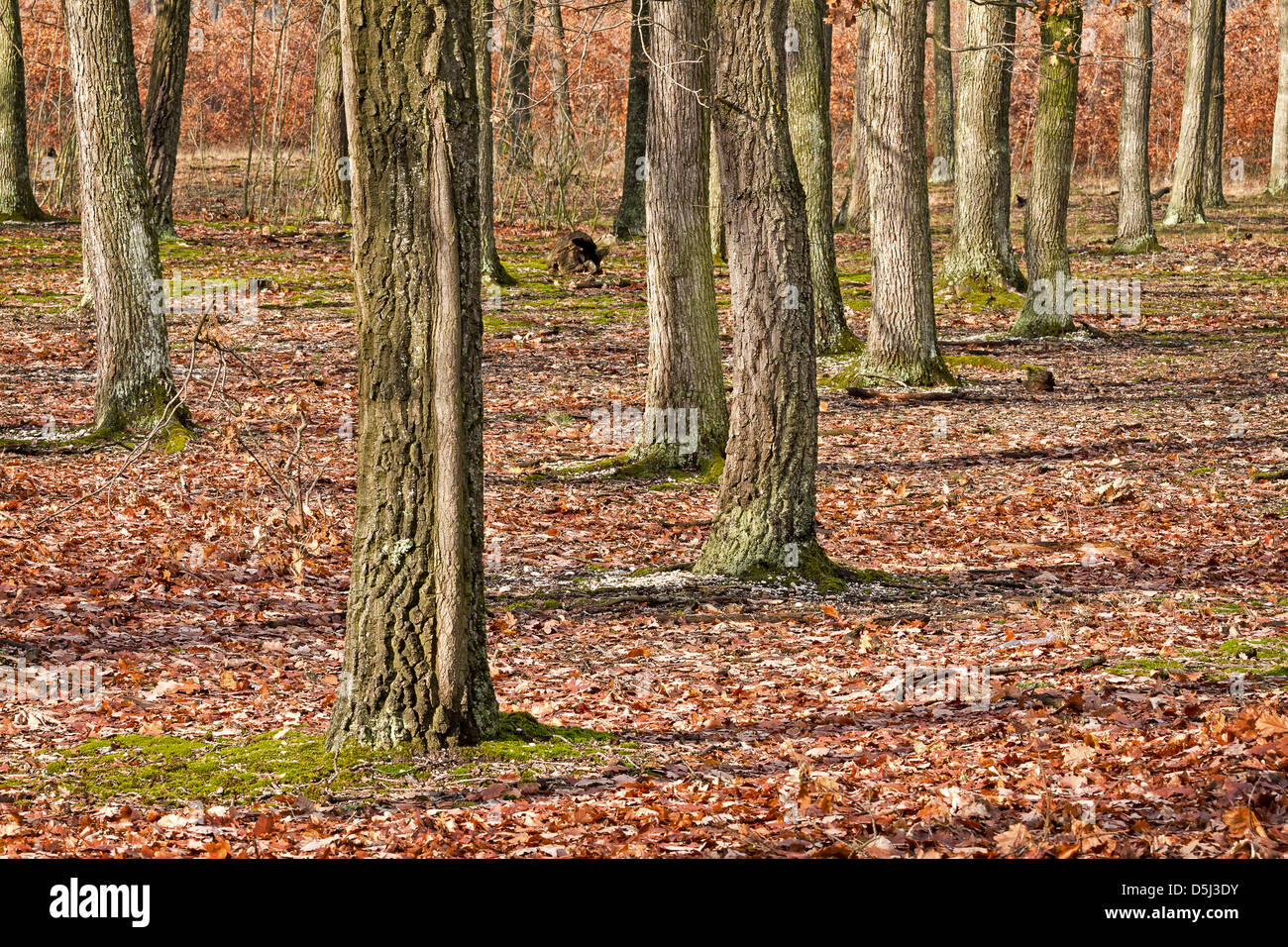 Oak forest at the autumntime - Stock Image