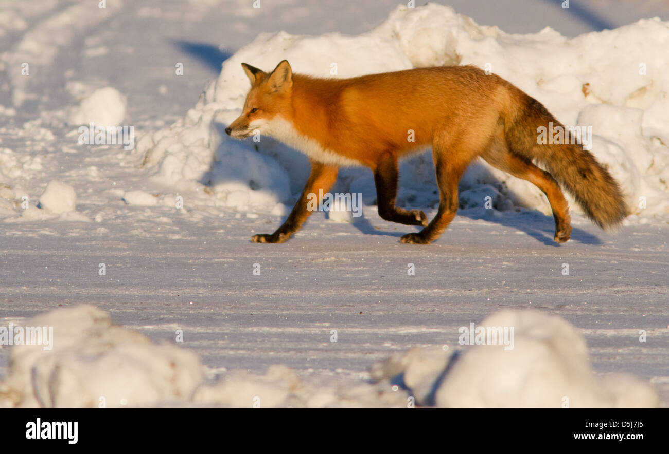 Superb male red fox hunter in Canadian winter. - Stock Image
