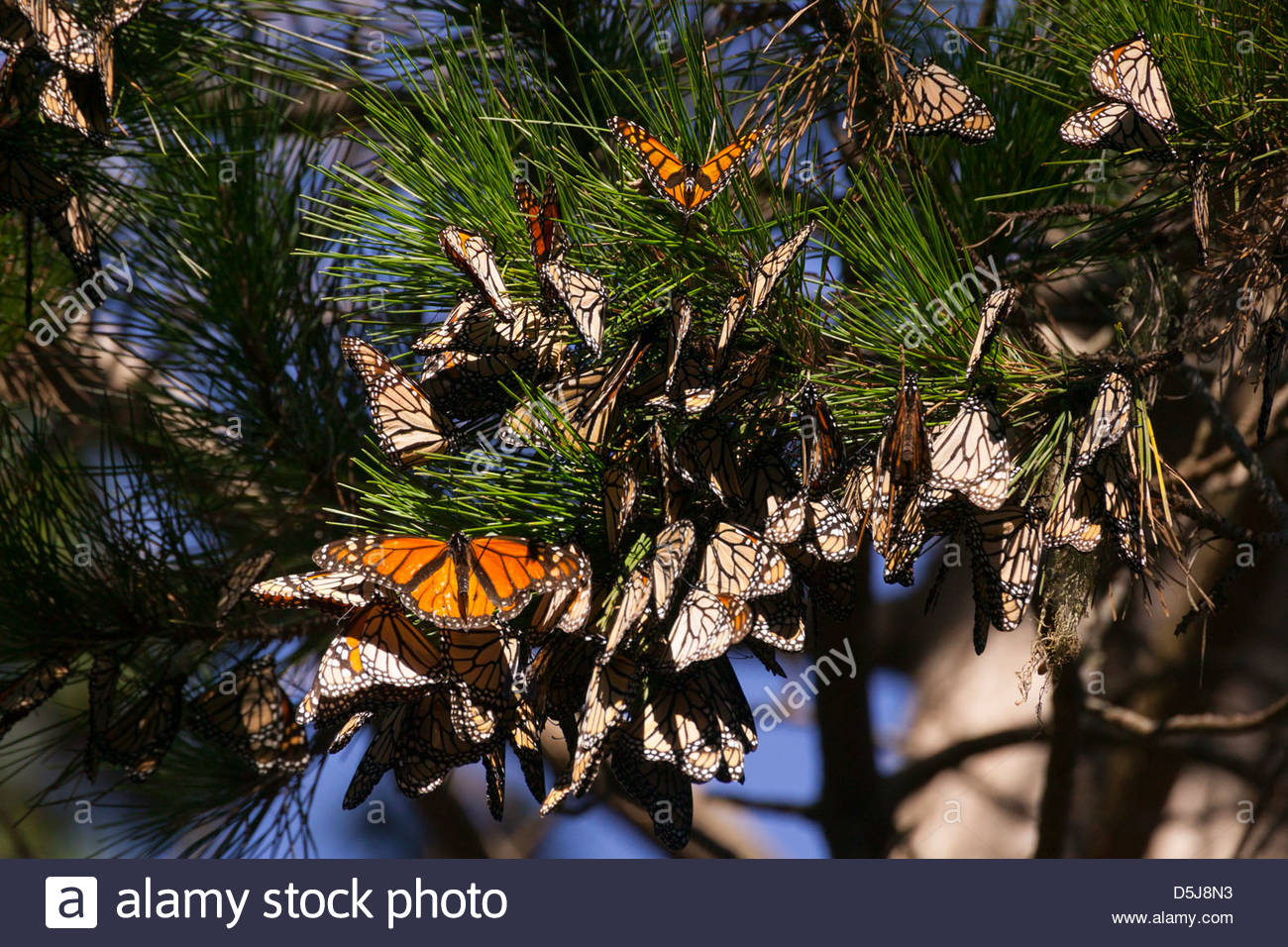 Monarch butterflies (Danaus plexippus) cluster together in Pacific Grove, California. - Stock Image