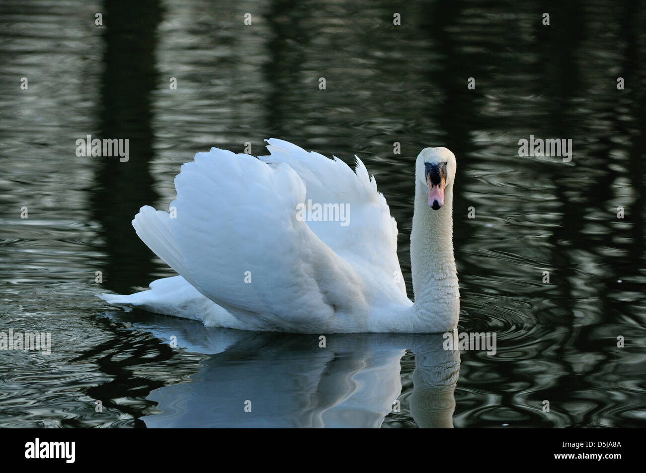 A male swan displays aggressively while protecting his patch of water - Stock Image