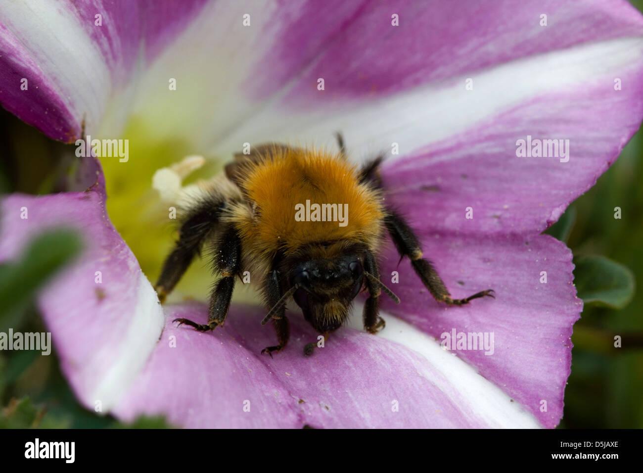 Bumble Bee in a Sea Bindweed Flower, Braunton Burrows, North Devon. Stock Photo