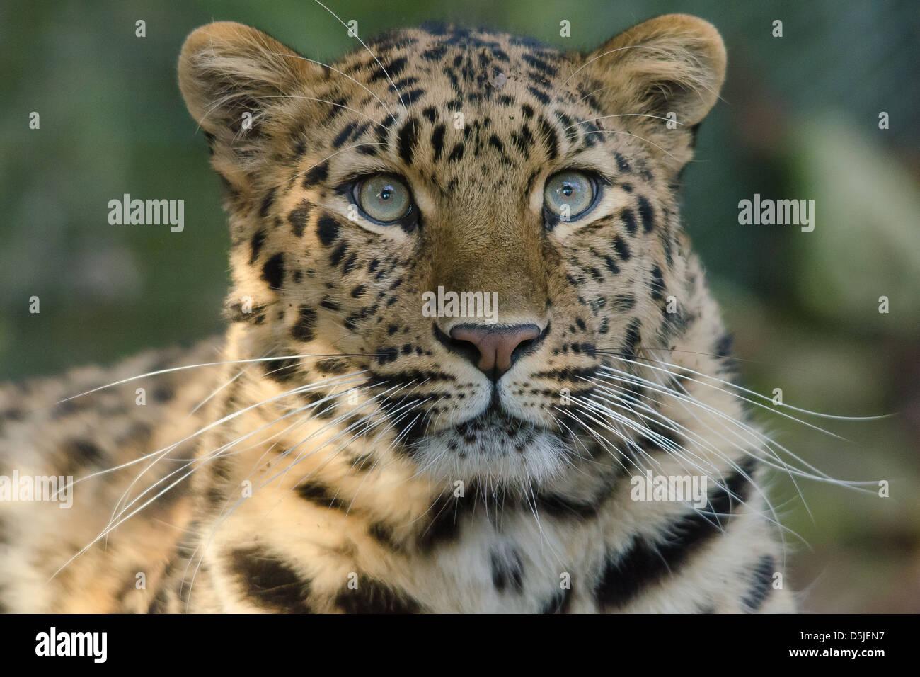 Amur Leopard head portrait - Stock Image