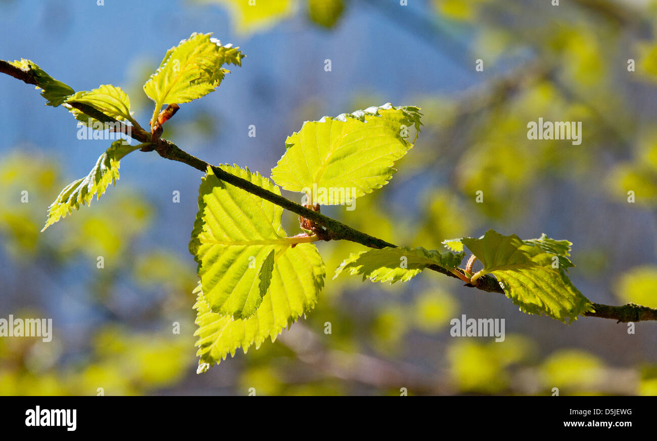 Young Beech tree leaves in bright sunlight - Stock Image