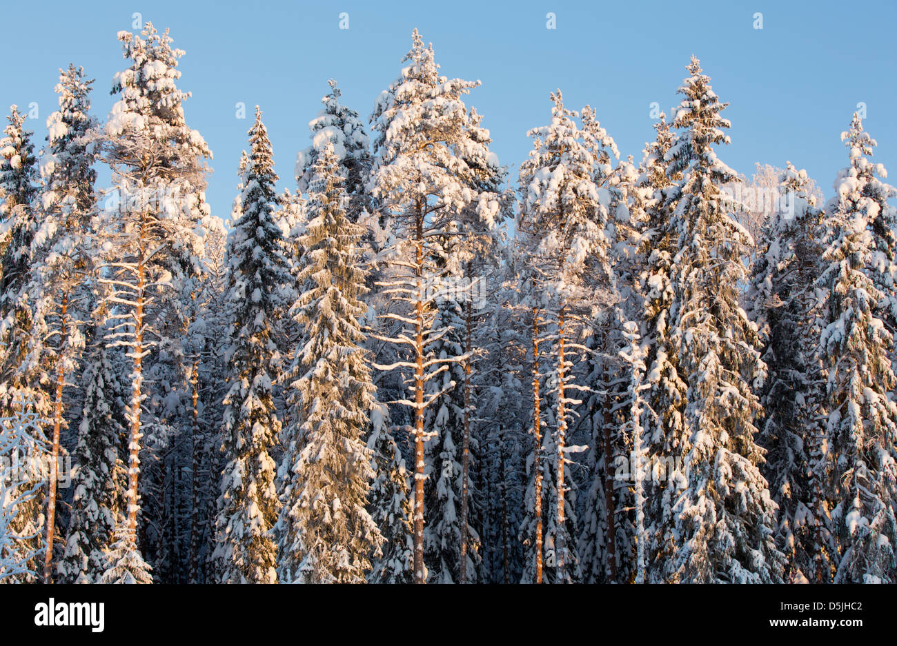 Mixed conifers forest with pine ( pinus sylvestris ) and spruce ( picea abies ) trees , Finland - Stock Image