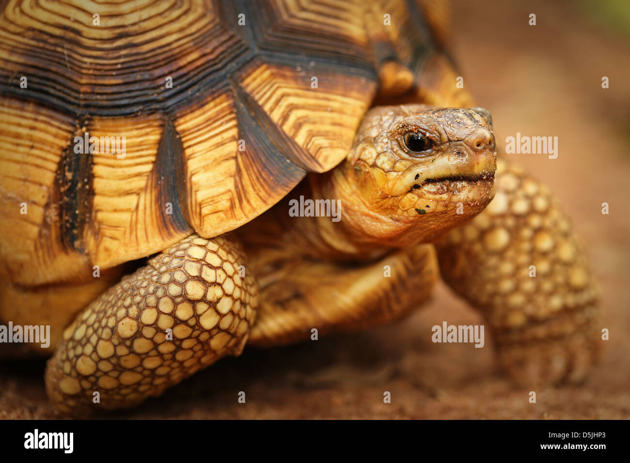 Angonoka or Ploughshare Tortoise (Astrochelys yniphora) in Madagascar. This is the world's most critically endangered - Stock Image