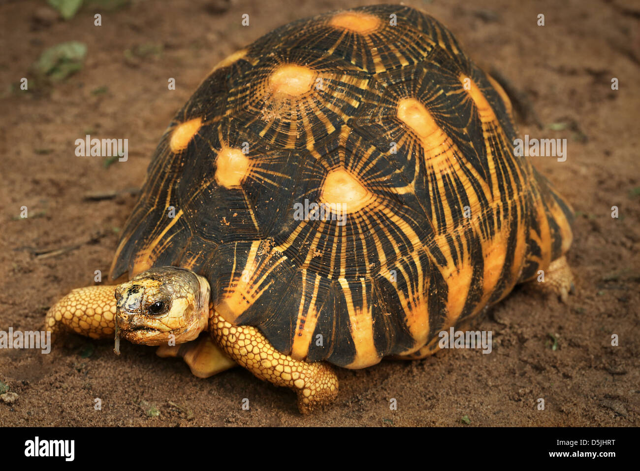 Critically Endangered Radiated Tortoise (Astrochelys radiata) looks around in Madagascar. One of world's most - Stock Image