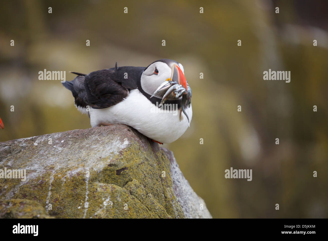 A puffin sitting with Sand Eels in its beak.  Captured on Inner Farne, part of the Farne Islands in Northumberland. Stock Photo