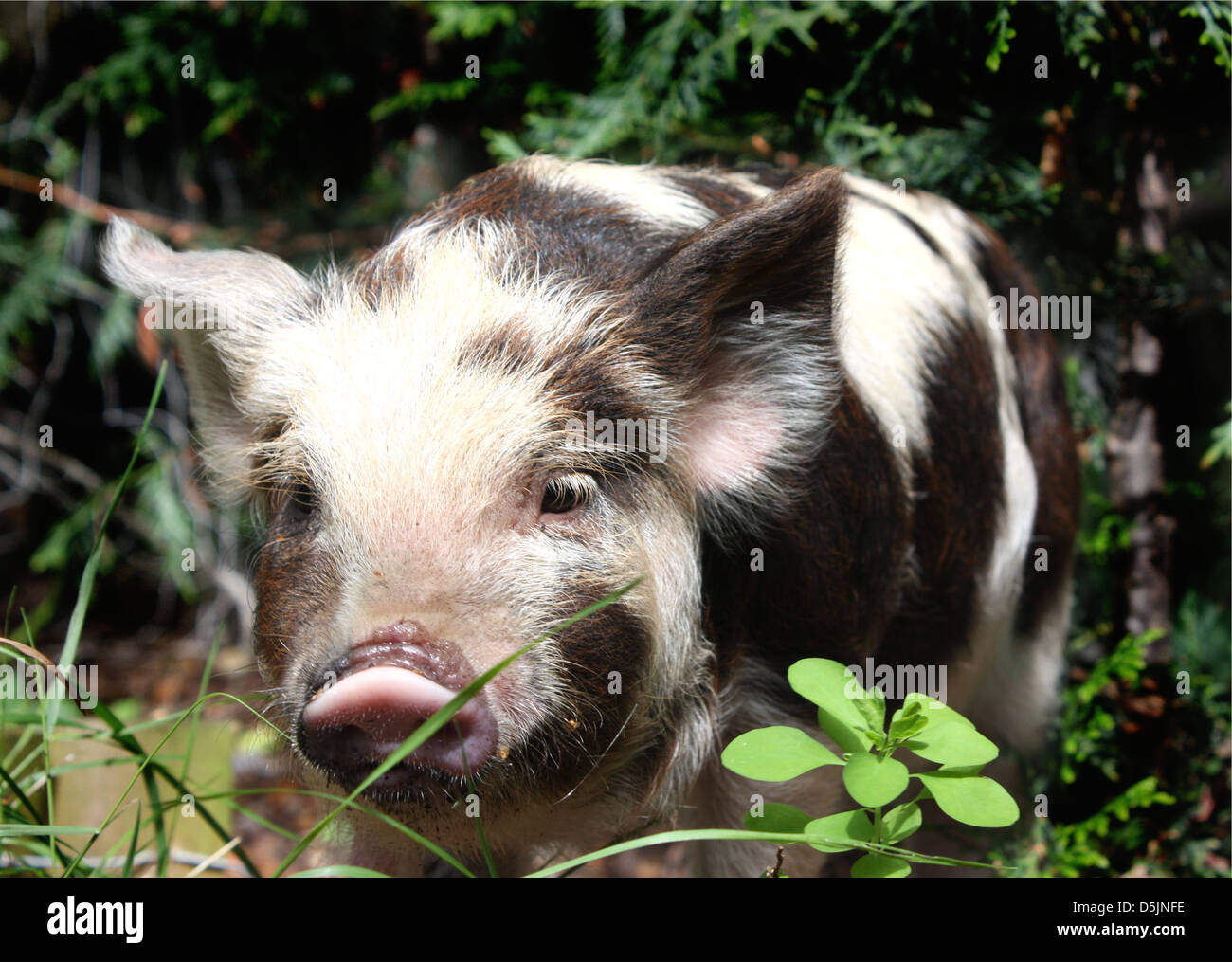 Hairy mature piglet