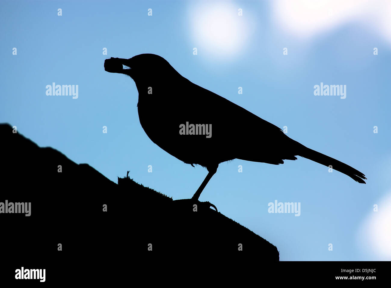 Side view of silhouetted blackbird on roof with nut in mouth - Stock Image