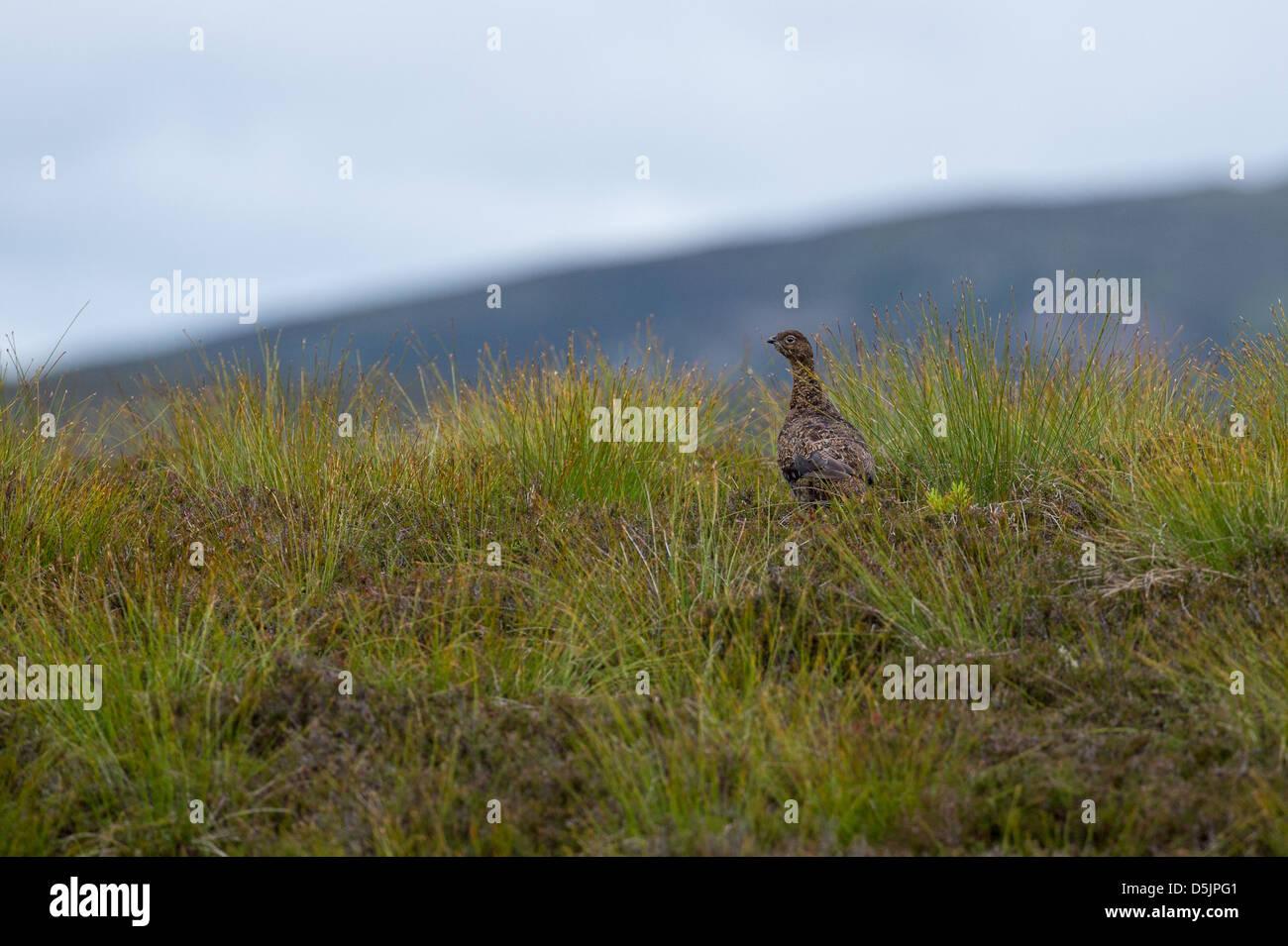 Pheasant amongst gorse, Scotland - Stock Image