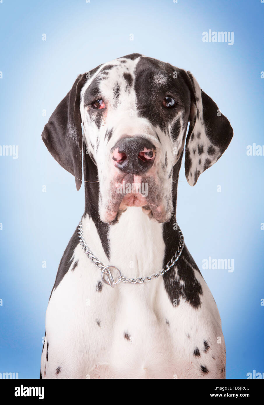 A Young Male Harlequin Great Dane Pet Dog In A Studio With A Stock Photo Alamy