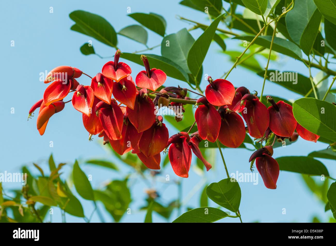 Erythrina crista-galli, Coxcomb Coral-tree Stock Photo