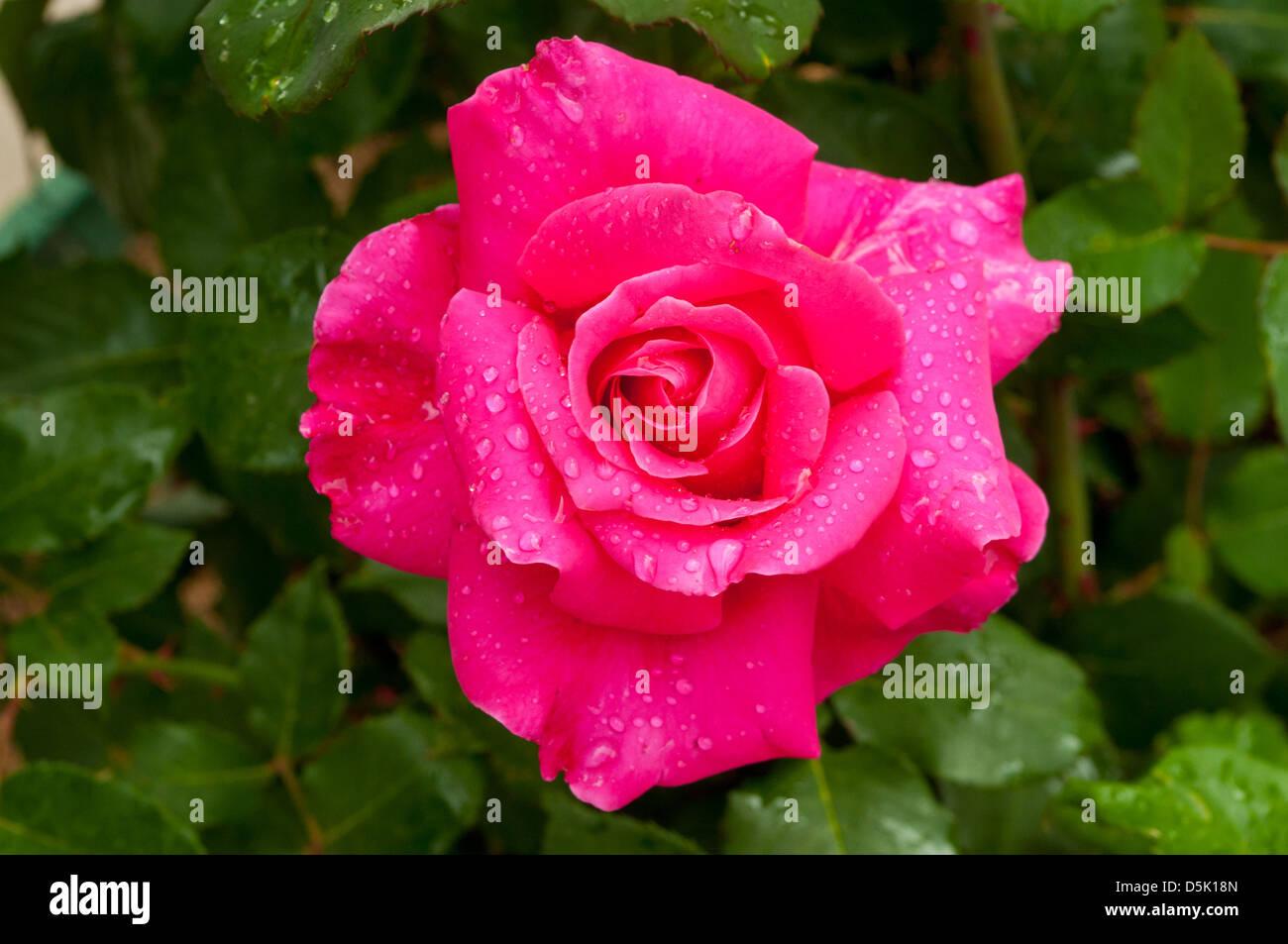 Rosa In Appreciation - Stock Image