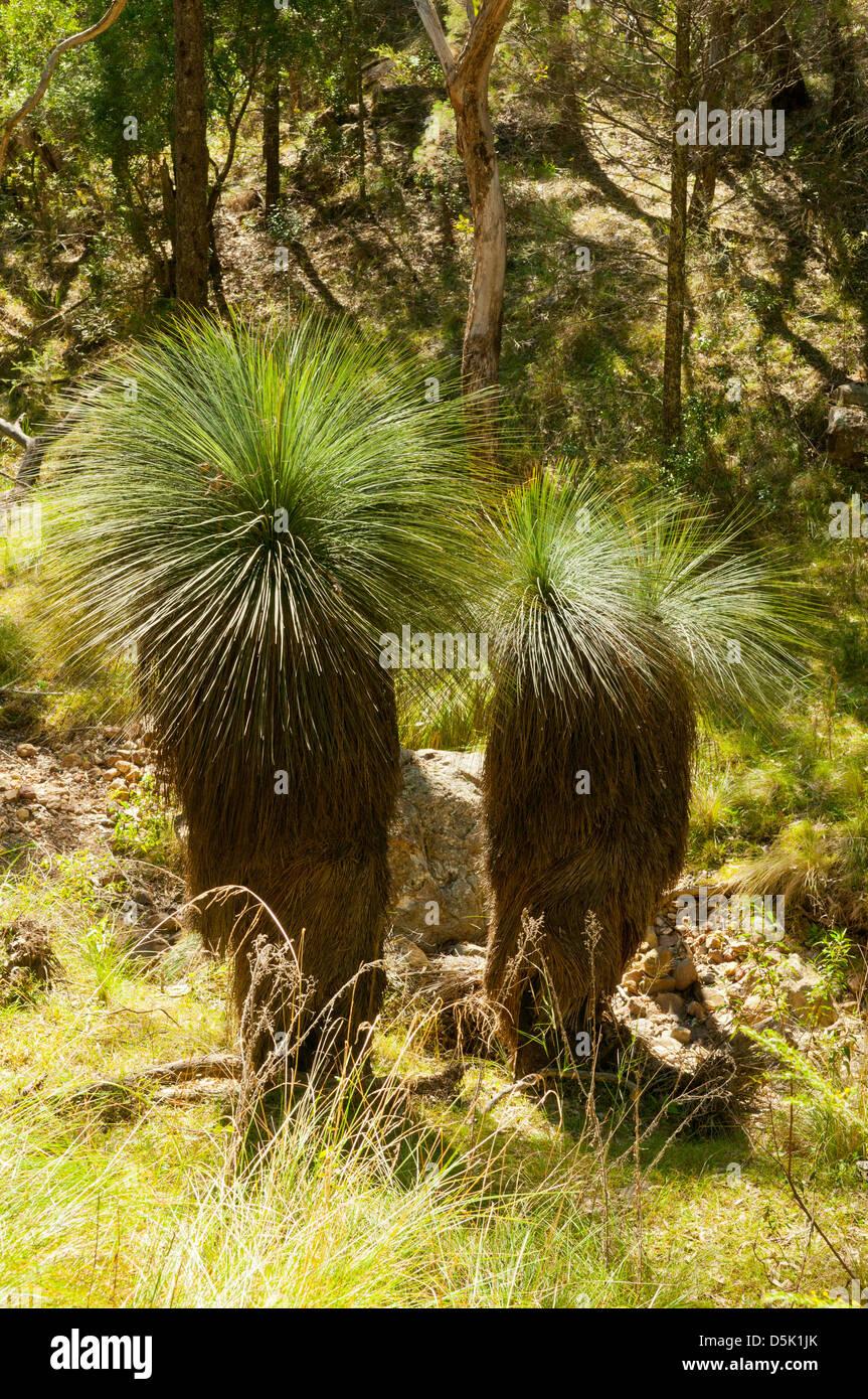 xanthorrhoea australis  grass tree stock photo  55122779