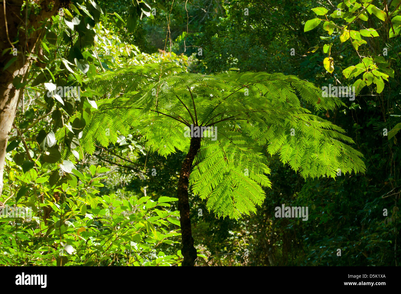 Cyanthea cooperi, Scaly Tree Fern - Stock Image