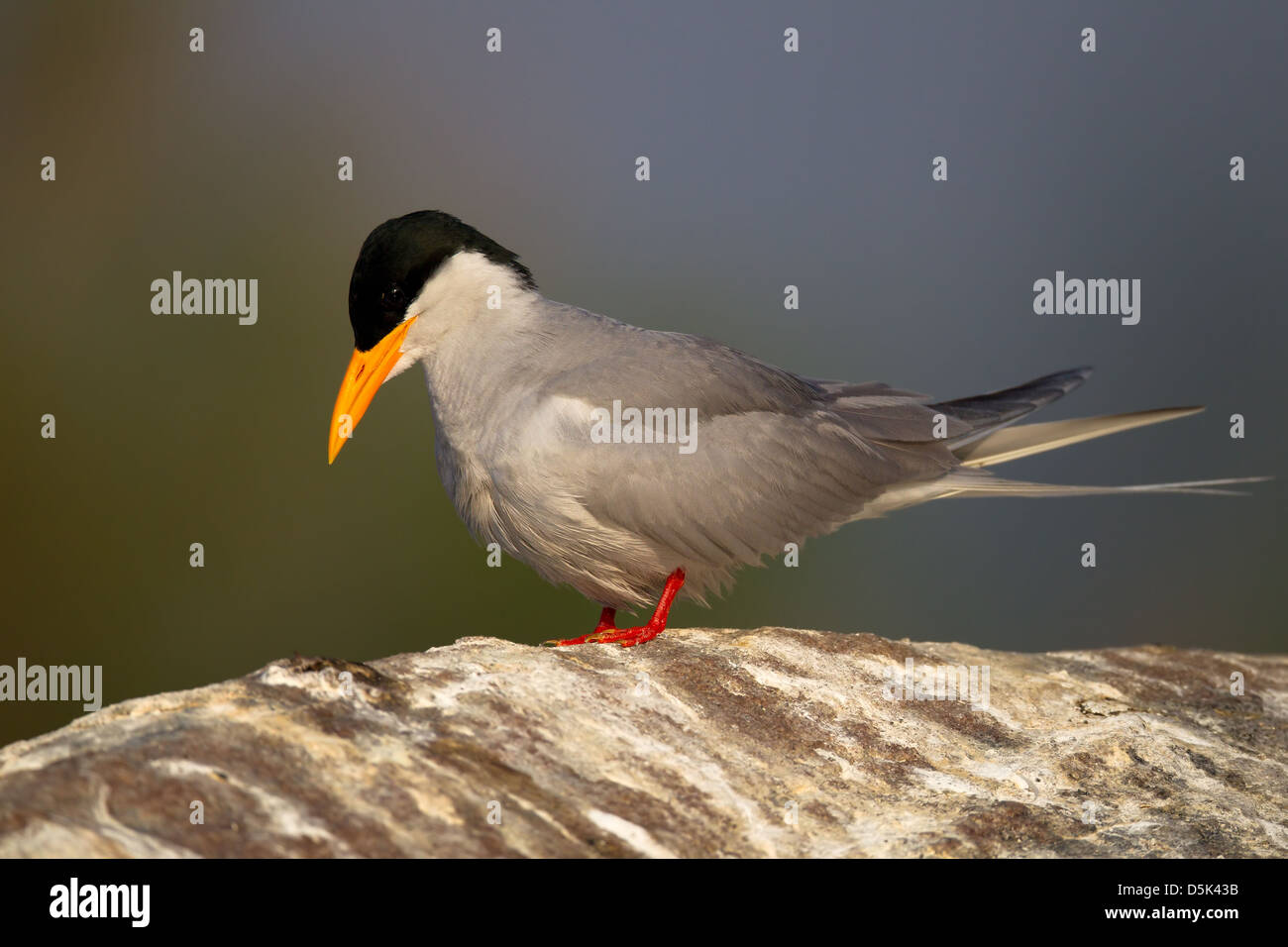 river tern sitting on a rock stained white with bird droppings with sky as background - Stock Image