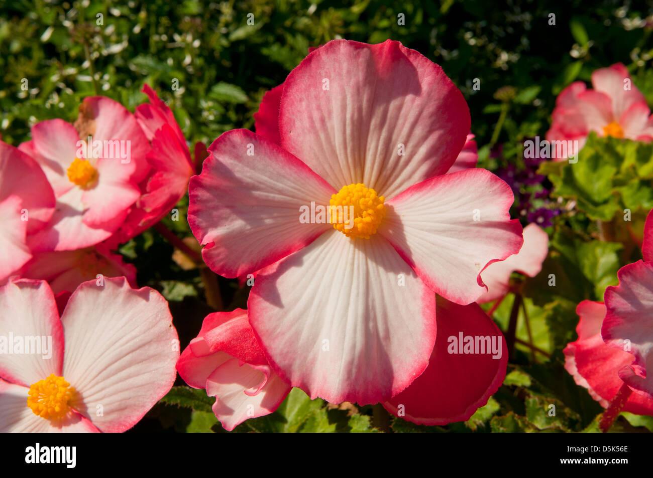 Begonia x semperflorens-cultorum, Pink Wax Begonia Stock Photo