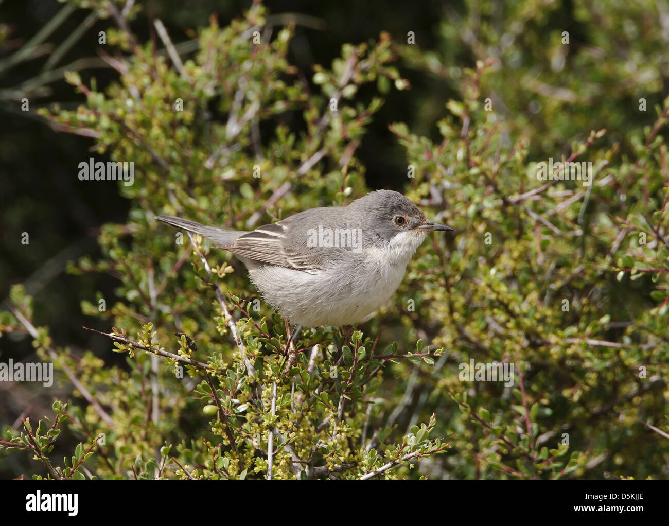 Ruppells Warbler female Sylvia rueppelli on breeding grounds cyprus - Stock Image