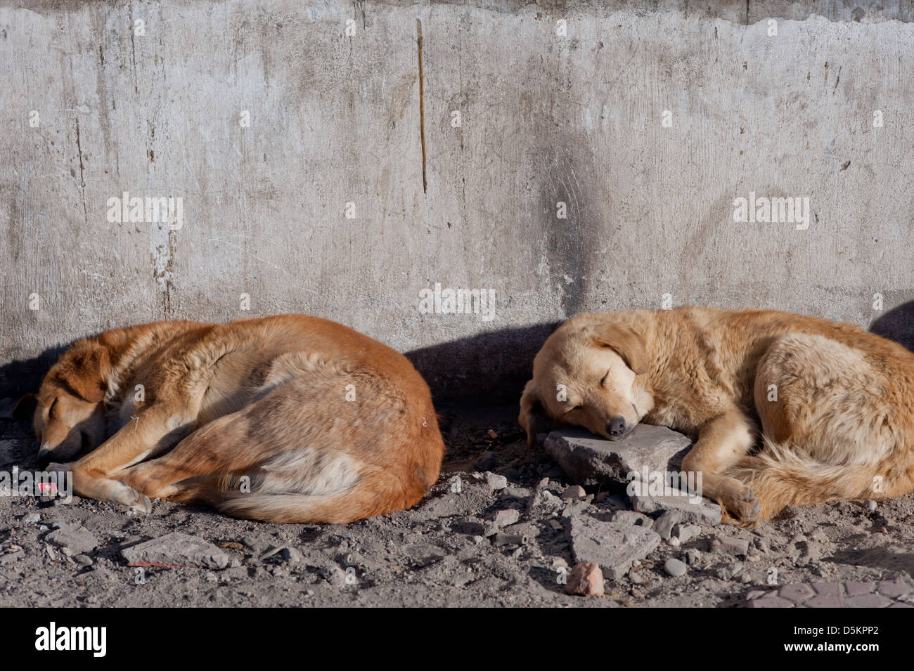 Cute, homeless, street dogs, sleeping in the mountain town of Leh, Ladakh, Jammu and Kashmir. India. - Stock Image
