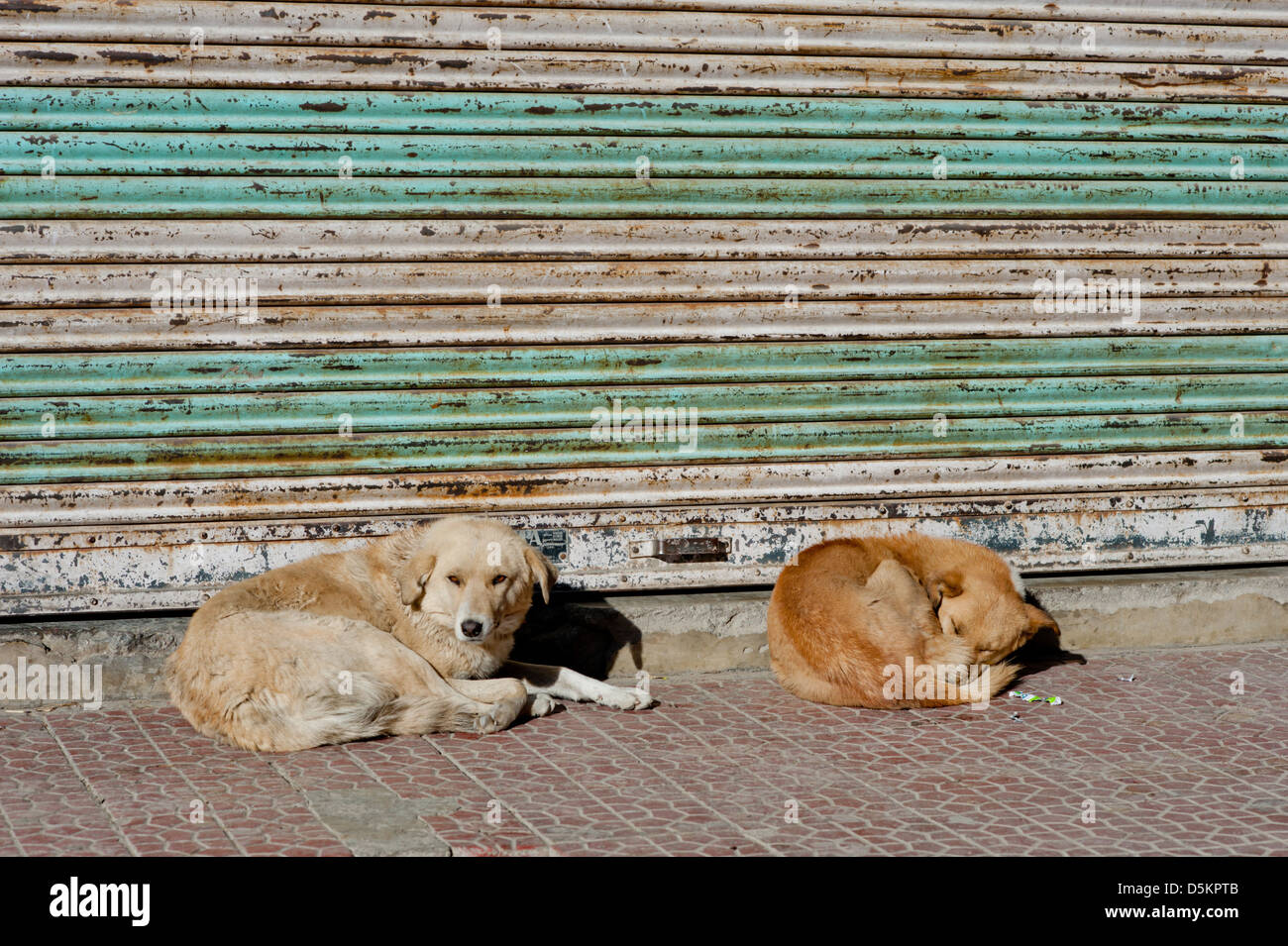 Cute, homeless, street dogs in the mountain town of Leh, Jammu and Kashmir. India. - Stock Image