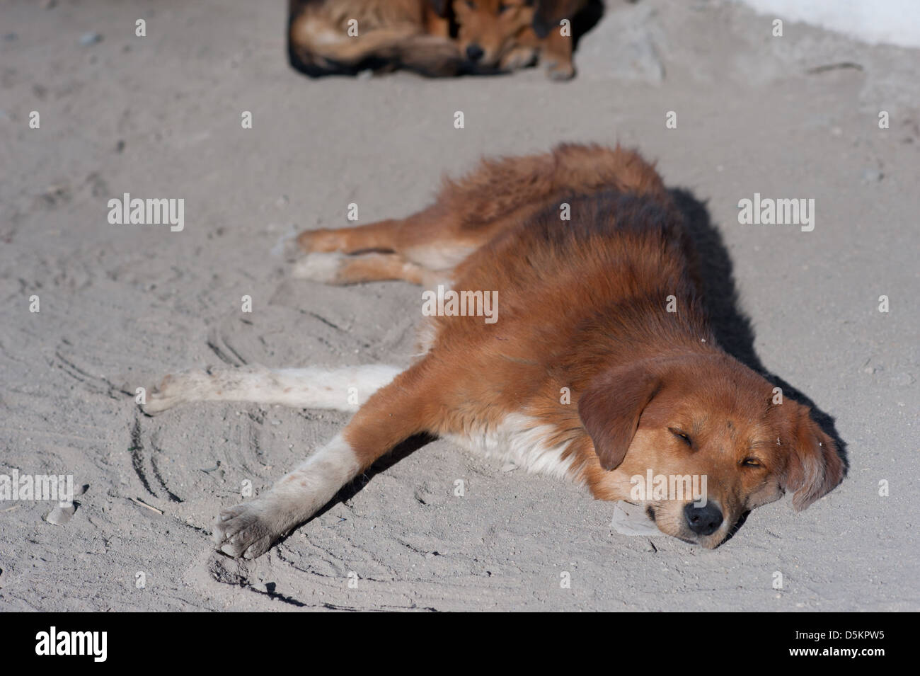 A cute, homeless, street dog in the mountain town of Leh, Ladakh, Jammu and Kashmir. India. - Stock Image