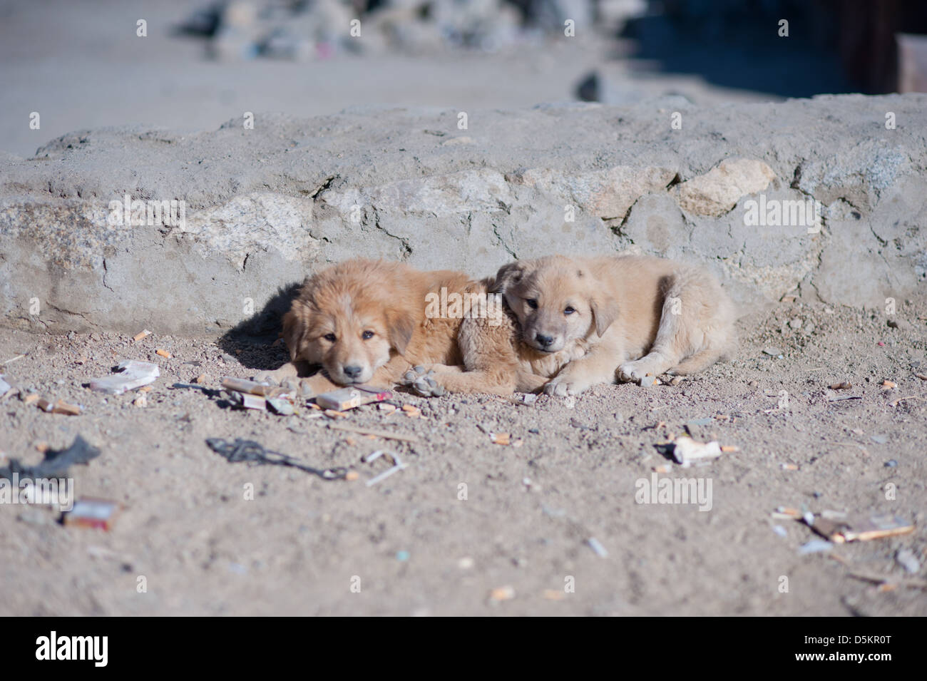 Cute, homeless, puppies in the mountain town of Leh, Ladakh, Jammu and Kashmir. India. - Stock Image