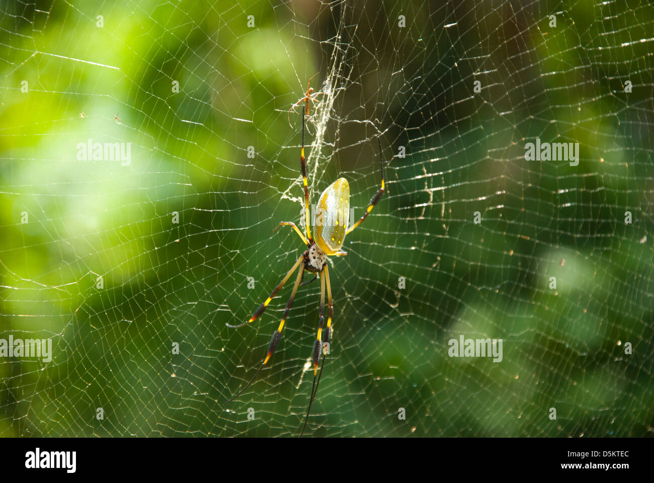 Golden Orb spider (Nephila clavipes) in web - Stock Image