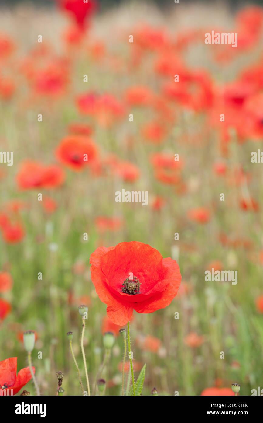 ENGLAND; NORFOLK; POPPY; FIELD; RED; FLOWER; POPPIES; FLOWERS; DETAIL Stock Photo