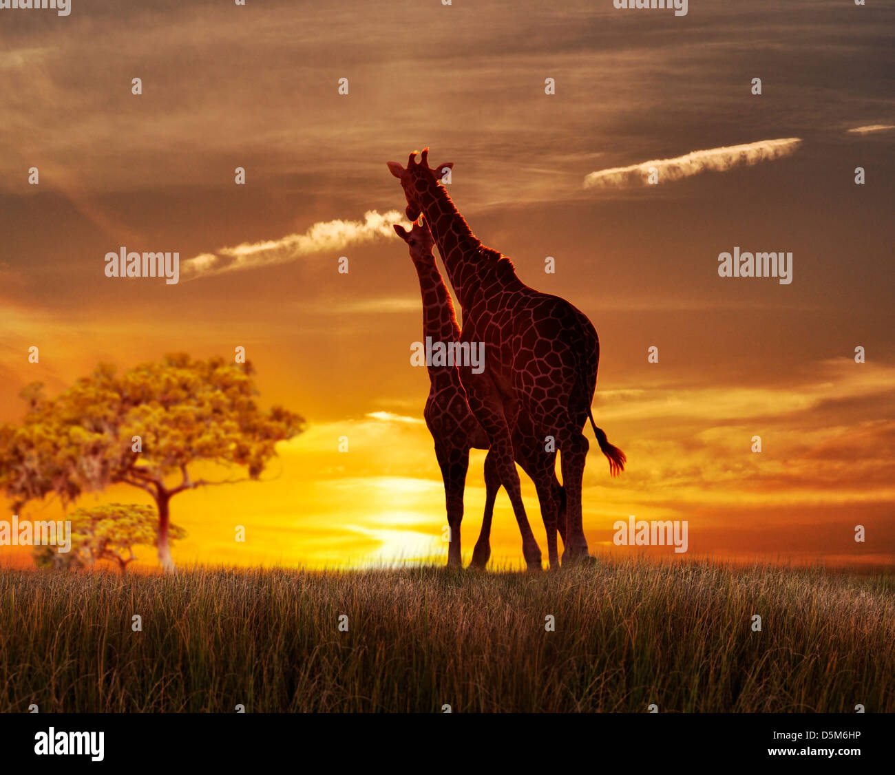 Two Giraffes Against The Sunset On A Hill - Stock Image