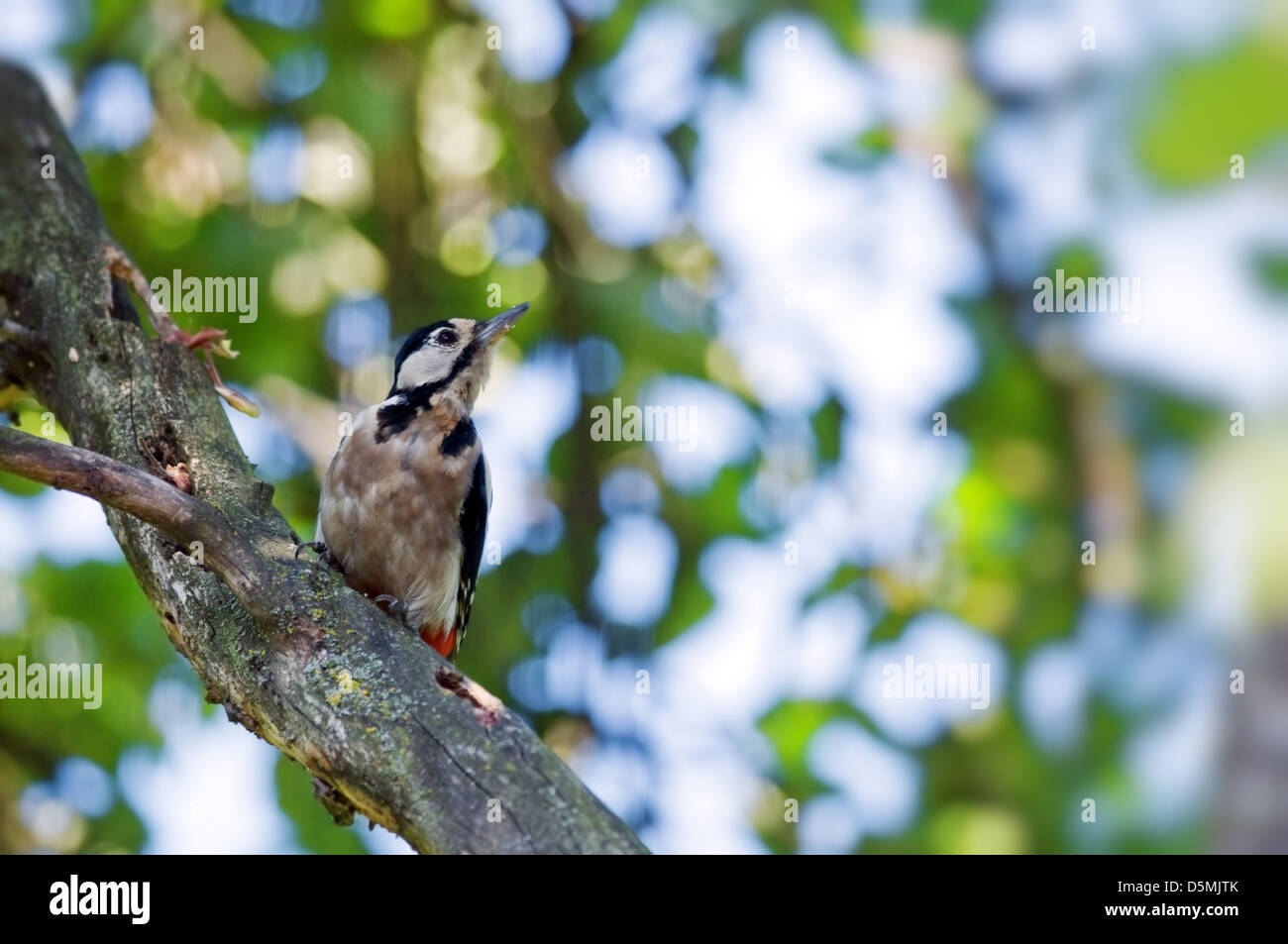 woodpecker on tree in summer time - Stock Image