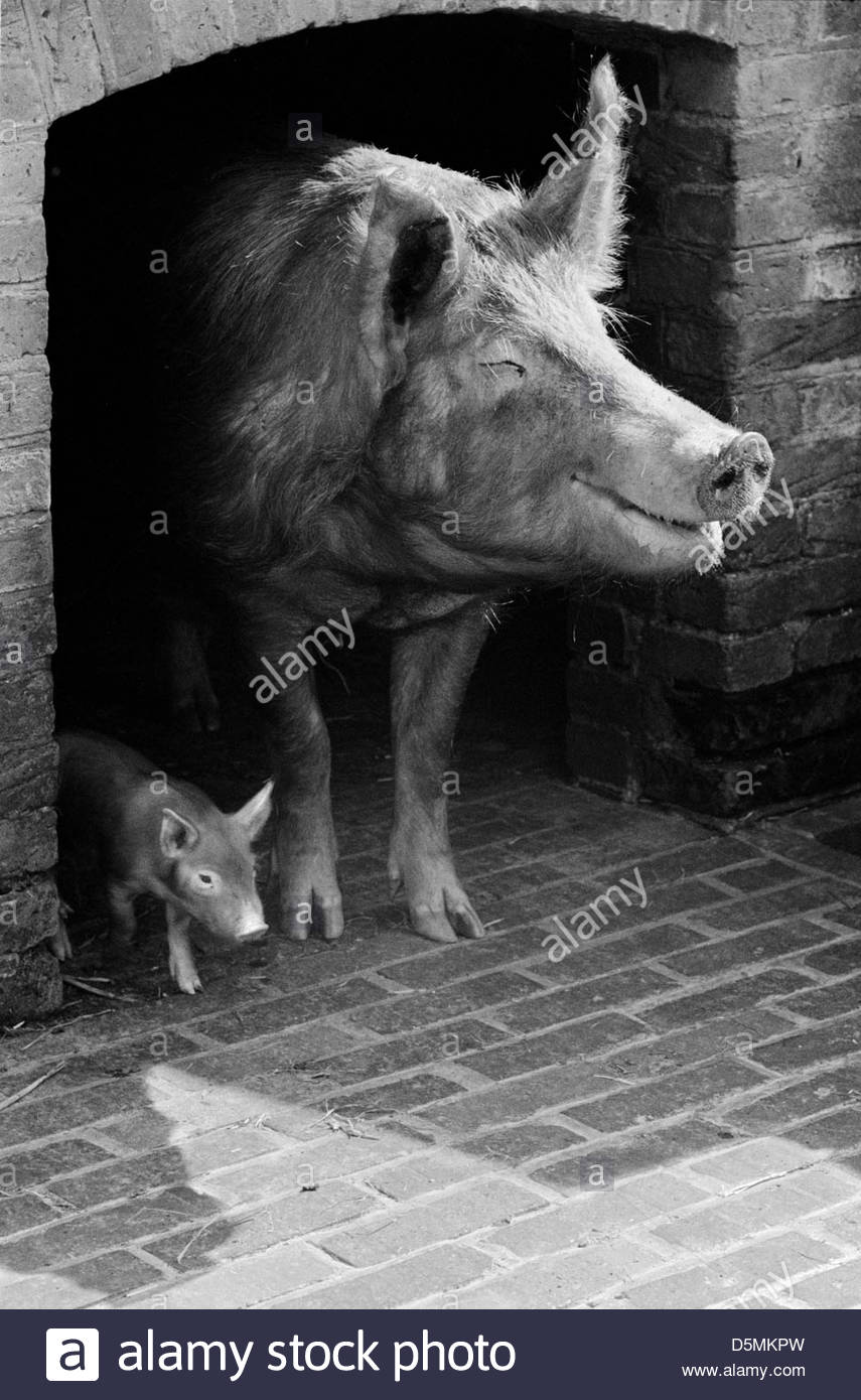 Tamworth pig and piglet standing at the entrance to their pigsty Stock Photo