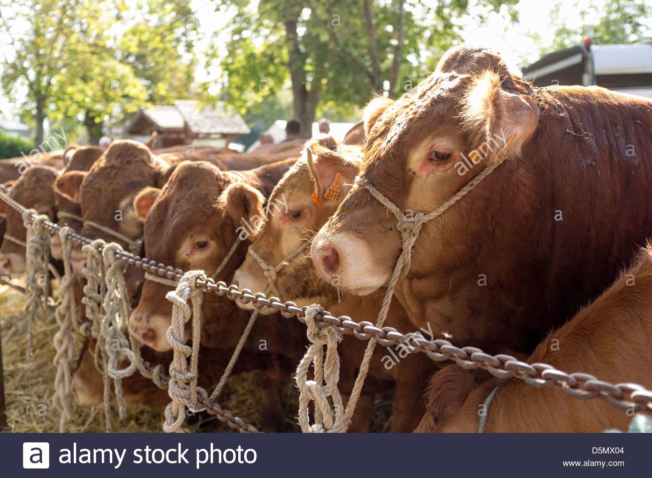 Limousine breed cattle at a agricultural market, Dun-le-Palastel, La Creuse, Limousin, France - Stock Image