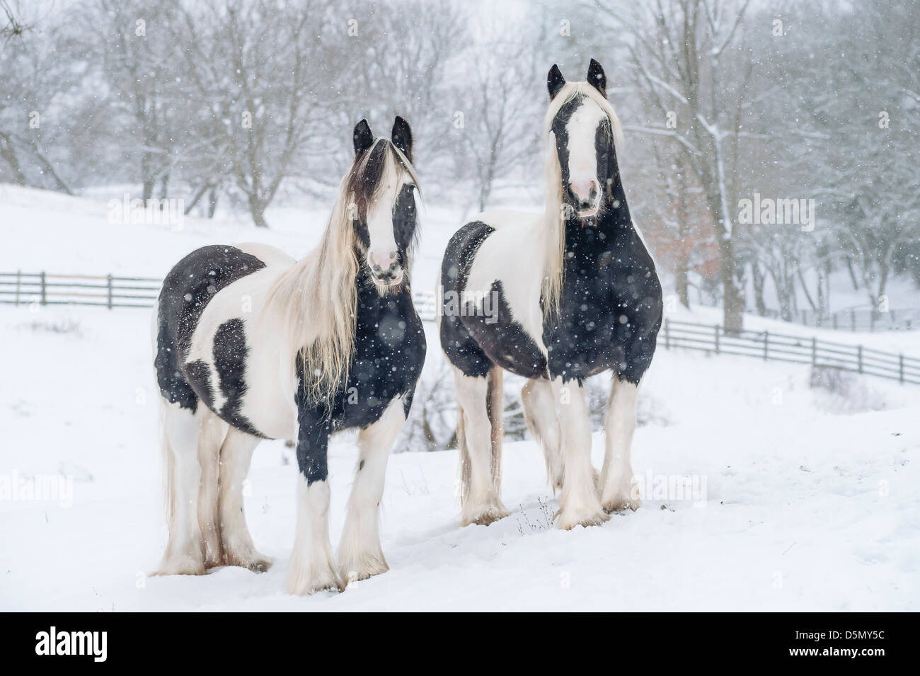 Pair of Gypsy Vanner Horse mares in snow - Stock Image