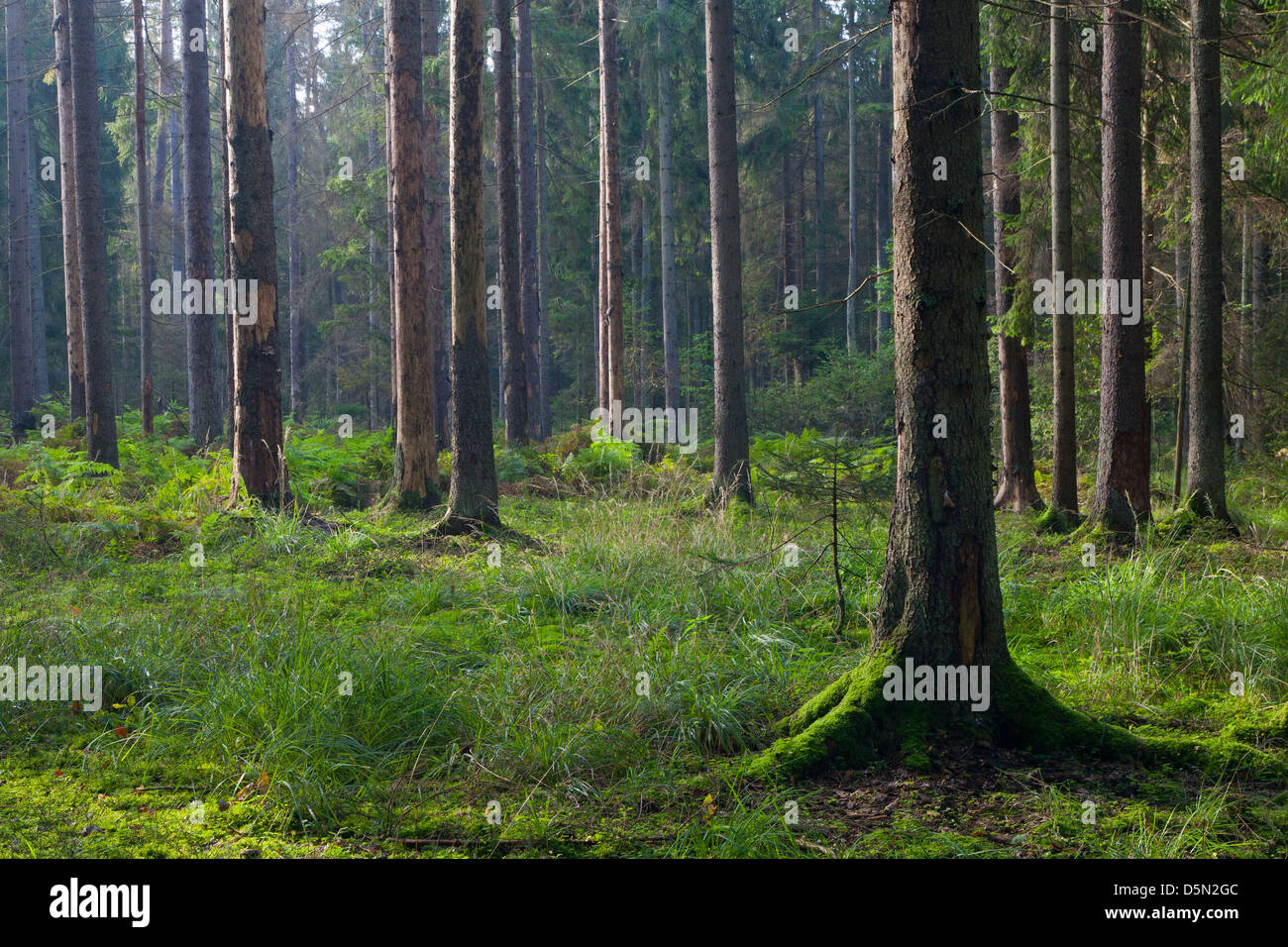 Early autumn morning in the forest with mist and dead spruces still standing - Stock Image