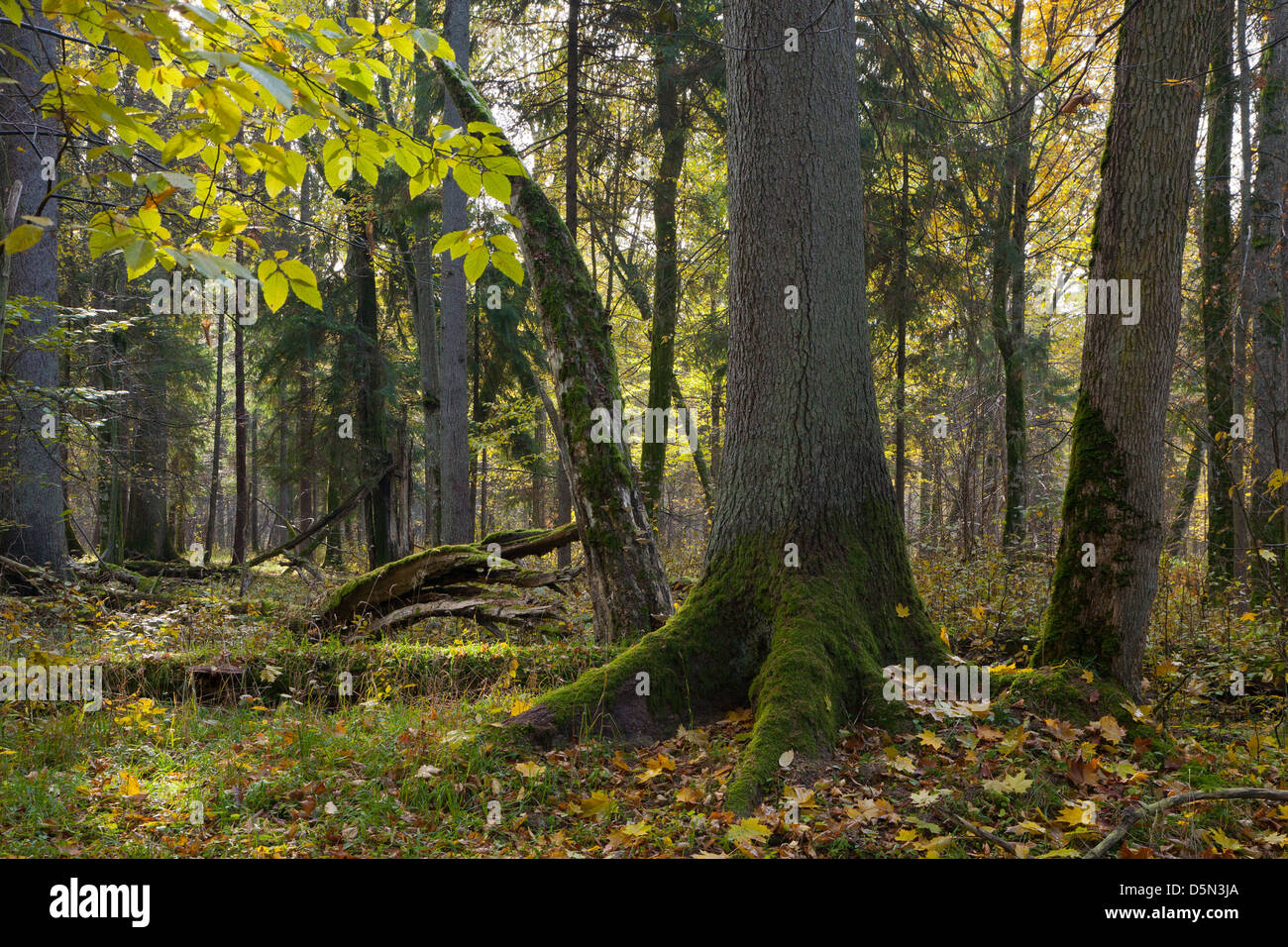 Old moss wrapped spruce tree in foreground of autumnal stand of Bialowieza Forest - Stock Image
