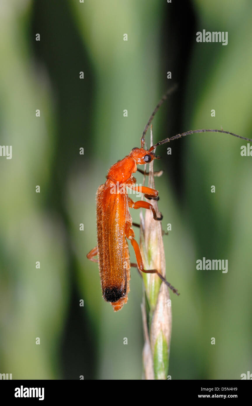 Common red soldier beetle (Rhagonycha fulva) close up, on grastip, Haute Savoie, France. - Stock Image