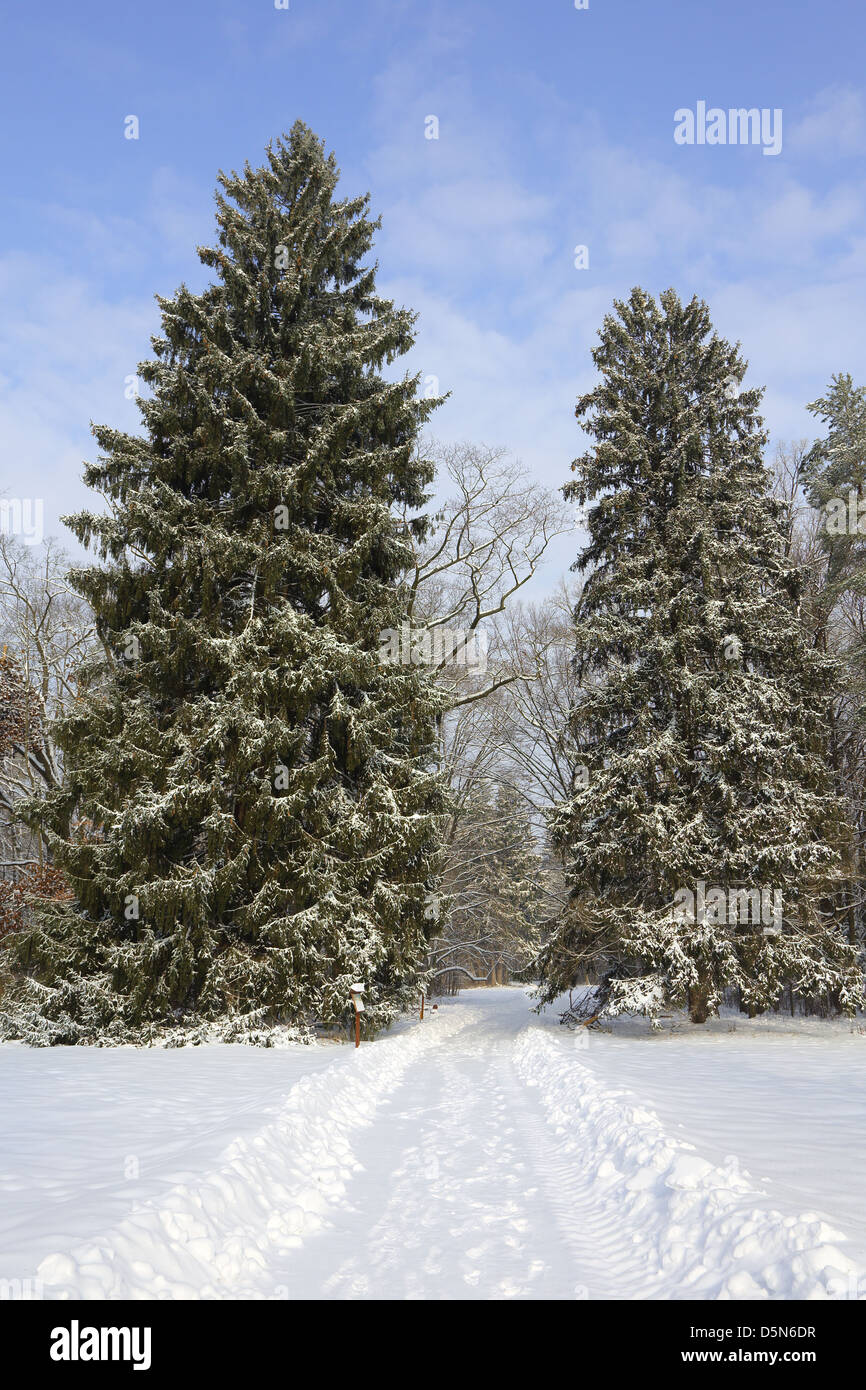 Snowy road between two spruces in winter landscape park - Stock Image