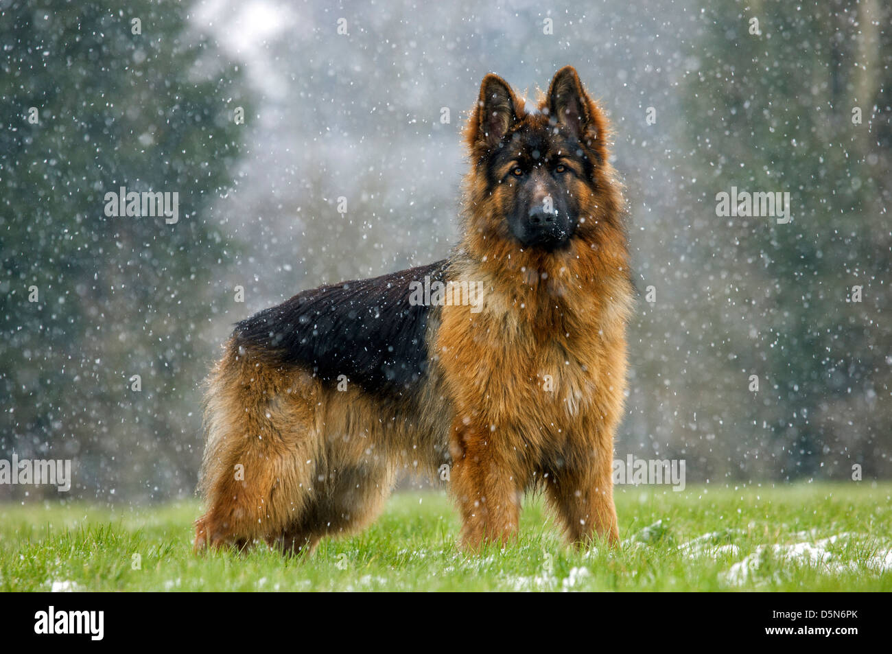 Alsatian / German Shepherd dog (Canis lupus familiaris) in garden during snow shower in winter - Stock Image