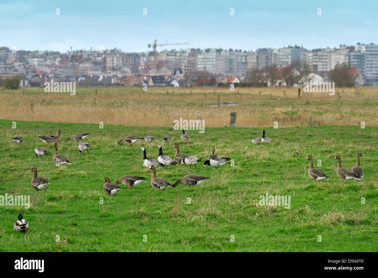 Greater White-fronted geese (Anser albifrons) and Barnacle geese (Branta leucopsis) foraging in polder in Flanders, - Stock Image