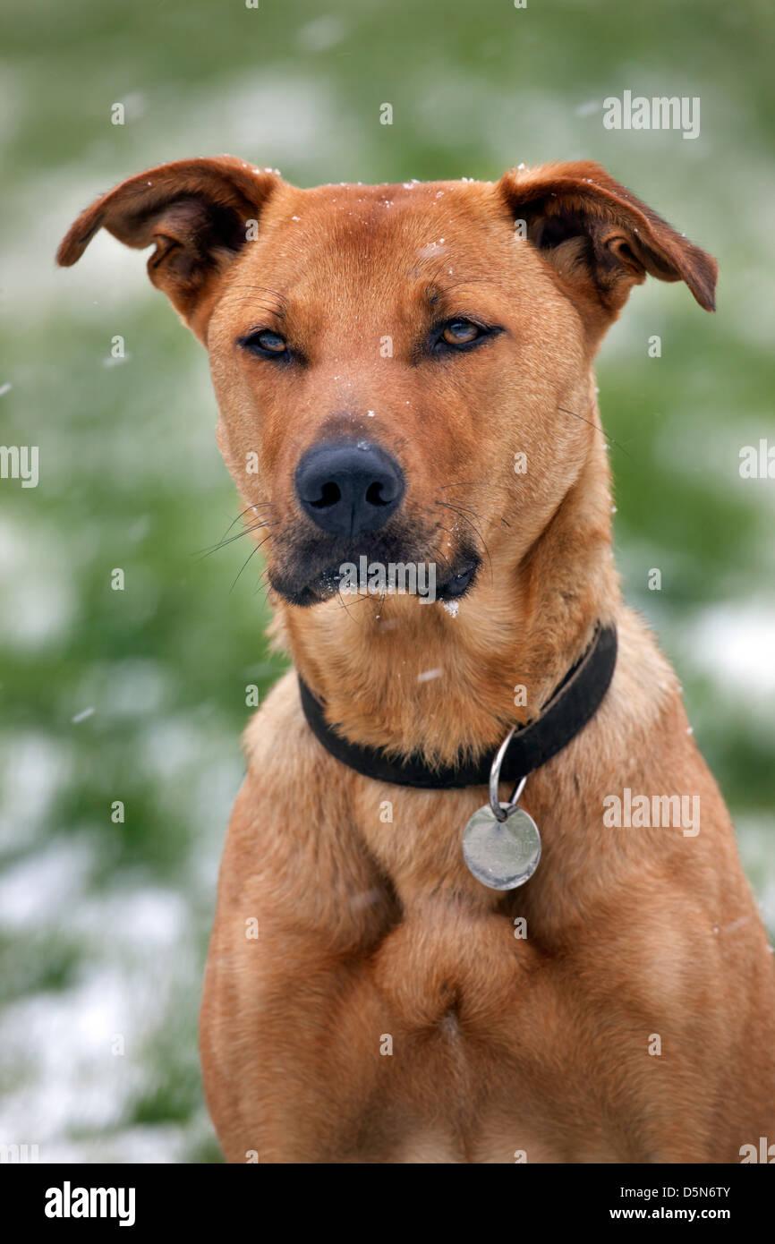 Mixed-breed dog (Labrador - Belgian shepherd dog ...