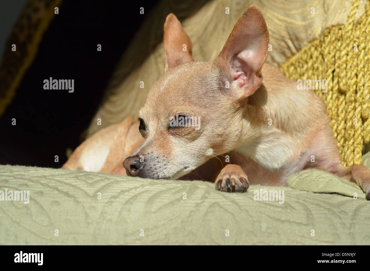 A tan color Chihuahua with eyes open and ears up, relaxes in a comfy spot. - Stock Image