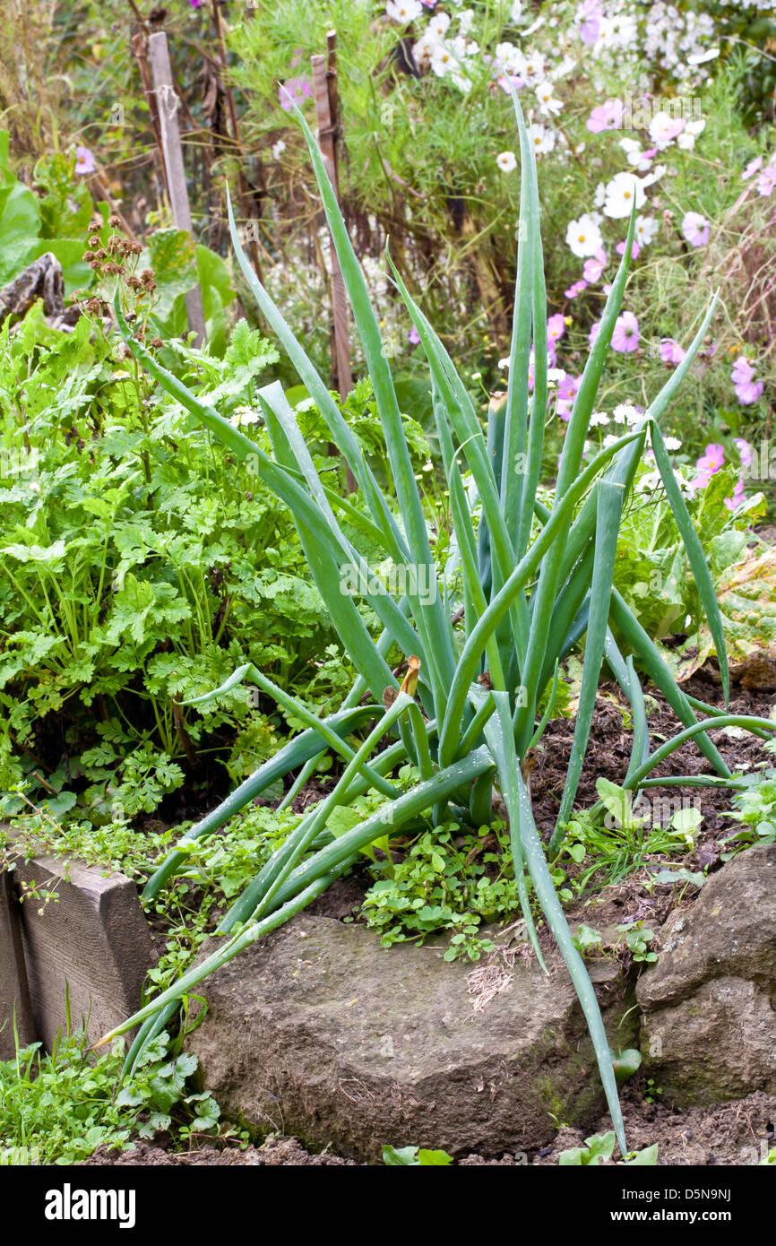 Allium cepa - bunching onion. Stock Photo