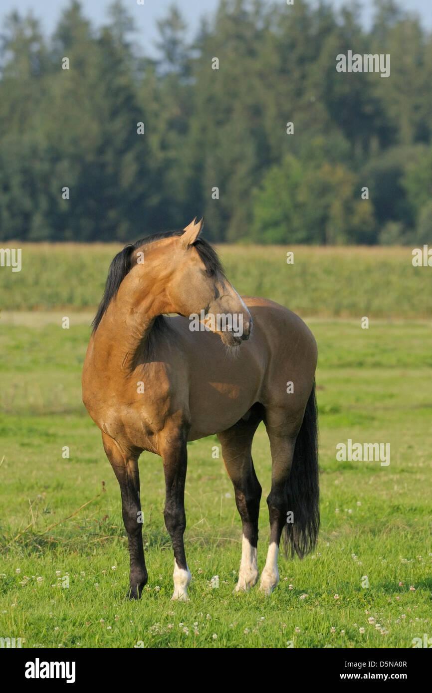 Lusitano horse stallion in the field - Stock Image